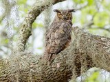 Great Horned Owl (Photo by Andrew Snyder)