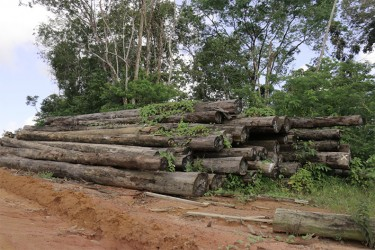 Vines have begun to grow over a pile –one of several- of unwanted logs at Vaitarna's Wineperu concession. These logs have been lying there for months.