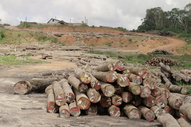 Vaitarna's log yard at Wineperu, Region 7 on Tuesday.  The India-based company continues to export logs but is yet to set up its promised processing plant. (Arian Browne photo)