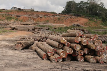 Another view of Vaitarna's log yard at Wineperu on Tuesday.  The India-based company continues to export logs but is yet to set up its promised processing plant. (Arian Browne photo)