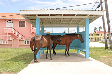 Getting out of the sun! In the sweltering heat yesterday, these two horses sought shade in a bus shed at Zeelugt, West Coast Demerara. (Photo by Arian Browne)
