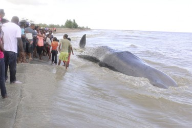 A crowd looks on at the dead Sperm Whale on the Kitty Seawall.