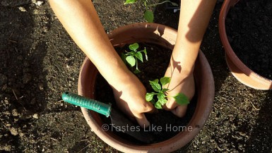 Planting Chili (long hot peppers) (Photo by Cynthia Nelson)
