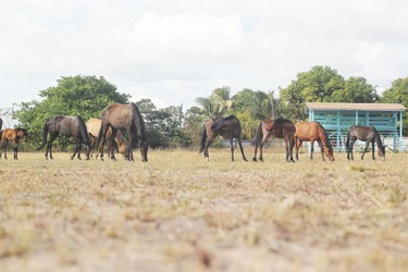 Horses use the Lethem Community Centre Ground as a pasture