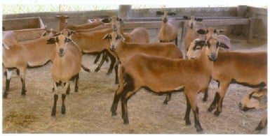 Barbados Blackbelly sheep can be positioned as a premium meat product
