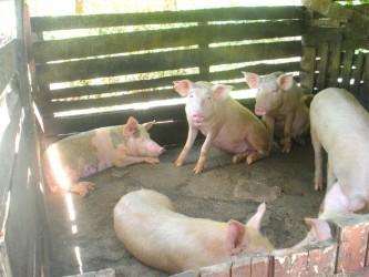Pigs on Isaac Benn's farm