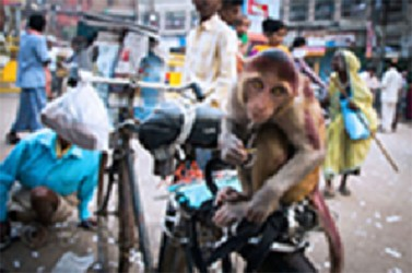 Macaque monkeys are a familiar sight in Varanasi