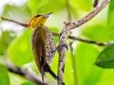 Yellow-throated Woodpecker (Piculus flavigula) in Rockstone Village, Essequibo River. Photo by Kester Clarke (http:// www.kesterclarke.net)