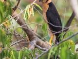 Collared Forest-Falcon (Micrastur semitorquatus) near Karasabai. (http://www.kesterclarke.net)