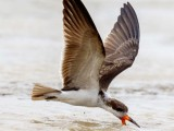 A Black Skimmer (Rynchops niger) at the Mon Repos seawall.  Photo by Kester Clarke (http://www.kesterclarke.net)