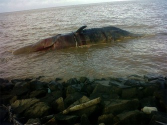 The dead whale