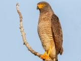 Roadside Hawk (Rupornis magnirostris) in Kuru Kururu