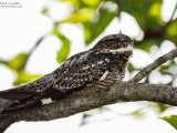Lesser Nighthawk (Chordeiles acutipennis) perched at Surama, North Rupununi. (Photo by Kester Clarke / www.kesterclarke.net)