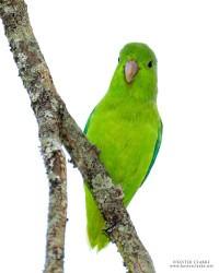 Green-rumped Parrotlet aka Guiana Parrotlet (Forpus passerinus passerinus or Forpus guianensis) photographed in the Botanical Gardens. (Photo by Kester Clarke / www.kesterclarke.net)