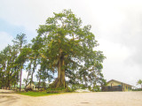 Kamaka, the giant silk-cotton tree at the top of the hill