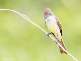 Brown-crested Flycatcher (Myiarchus tyrannulus) on the Abary river trail.