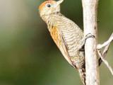 Blood-coloured Woodpecker (Veniliornis sanguineus) on the Abary river trail.  (Photo by Kester Clarke / www.kesterclarke.net )