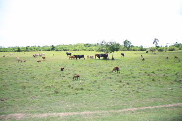 Livestock losses through theft and the scarcity of pasture lands are among the major problems facing West Berbice farmers.