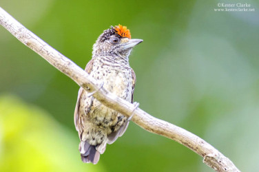 White bellied Piculet Picumnus spilogaster