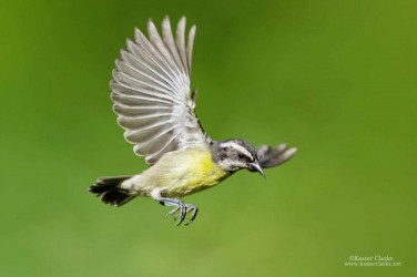 Bananaquit (Coereba flaveola) in Georgetown.  (Photo by Kester Clarke / www.kesterclarke.net)