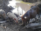Pigs forage at an almost-dried out pond in Karaudarnau, Deep South Rupununi which is normally filled with water but is on the verge of drying out due to the intense heat.