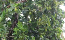 A laden breadfruit tree