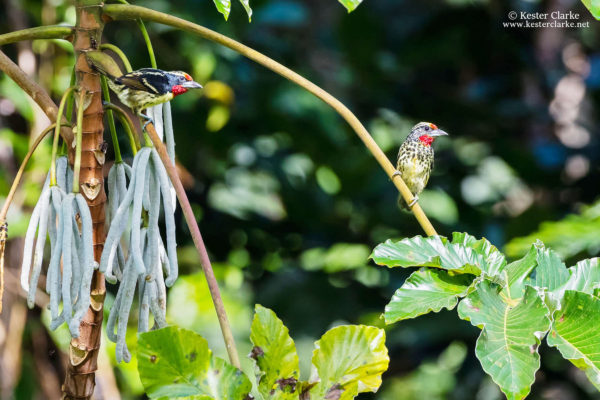 A pair of Black-spotted Barbet (Capito niger) at the Arrowpoint Nature Resort. (Photo by Kester Clarke – www.kesterclarke.net)