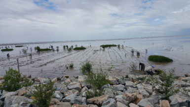 The mangroves being planted (Ministry of Agriculture photo)