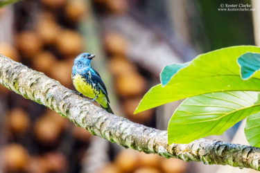 A Turquoise Tanager (Tangara mexicana) at the Arrowpoint Nature Resort. (Photo by Kester Clarke/www.kesterclarke.net)