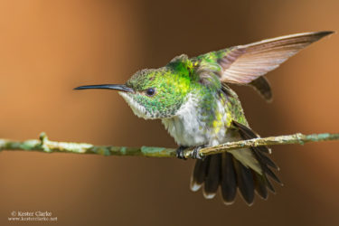 A White-chested Emerald hummingbird (Amazilia brevirostris) at Farm, EBD.                (Photo by Kester Clarke / www.kesterclarke.net)