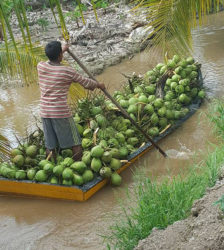 Transporting harvested coconuts