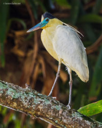 Capped Heron (Pilherodius pileatus) perched on a branch at a farm in Timehri