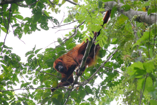 A Howler Monkey curiously looks on. (Photo by Dr Horst Vogel)