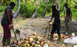 Peeling coconuts