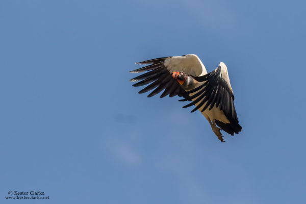 A King Vulture soaring over Karasabai Village, Rupununi. (Photo by Kester Clarke/www.kesterclarke.net)
