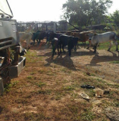 Cows that have invaded the yard of Port Kaituma resident Chrisna David