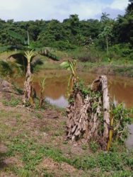 Damaged plantain stock in the aftermath of the animals' rampage at David's farm in Port Kaituma