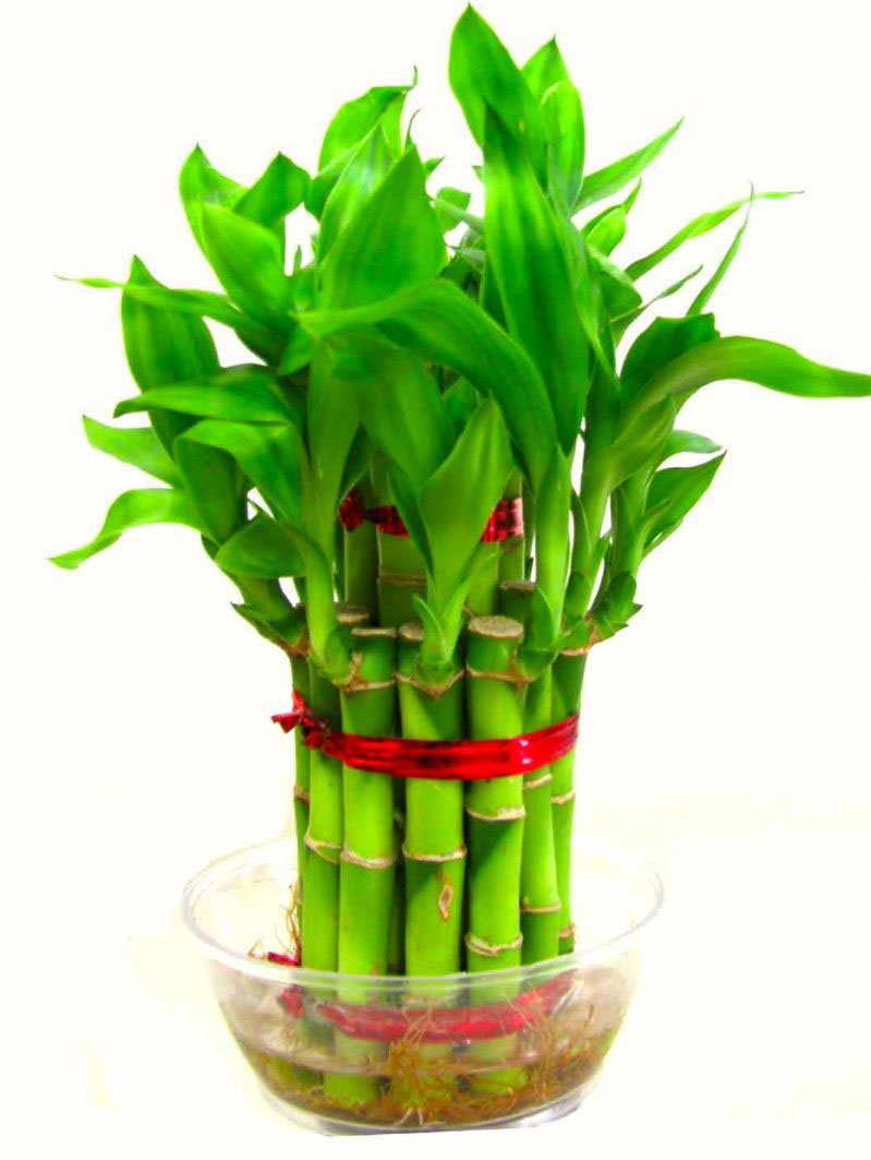 Chinese Lucky Bamboo - Stabroek News