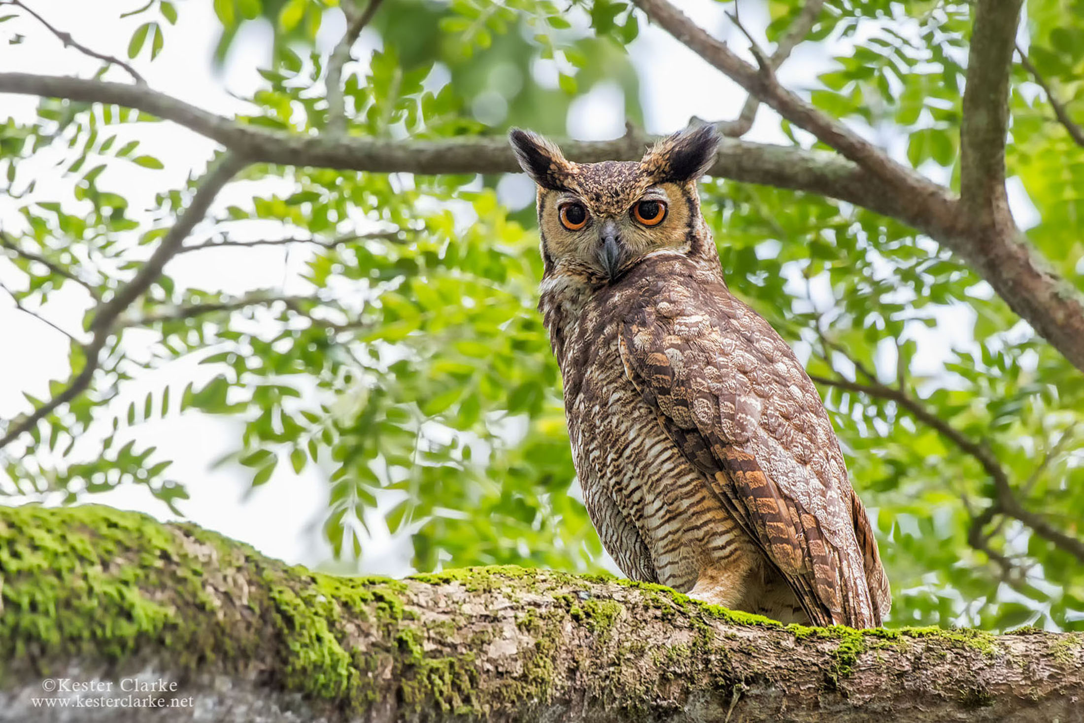 the great horned owl The great horned owl (bubo virginianus) is a large and powerful bird of prey, with characteristic horn-like ear tufts from which i.