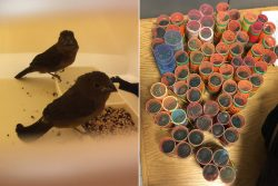 A Guyanese man tried to smuggle finches into the United States using hair rollers.