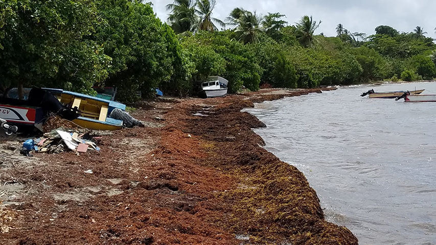 Sargassum seaweed brings bonanza for Barbados fishermen