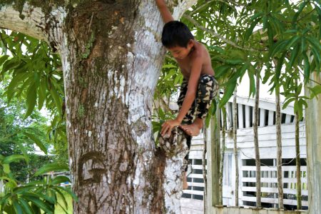 A young boy climbing a mango tree at Goshen. See more on centre pages ( Photo by Joanna Dhanraj)