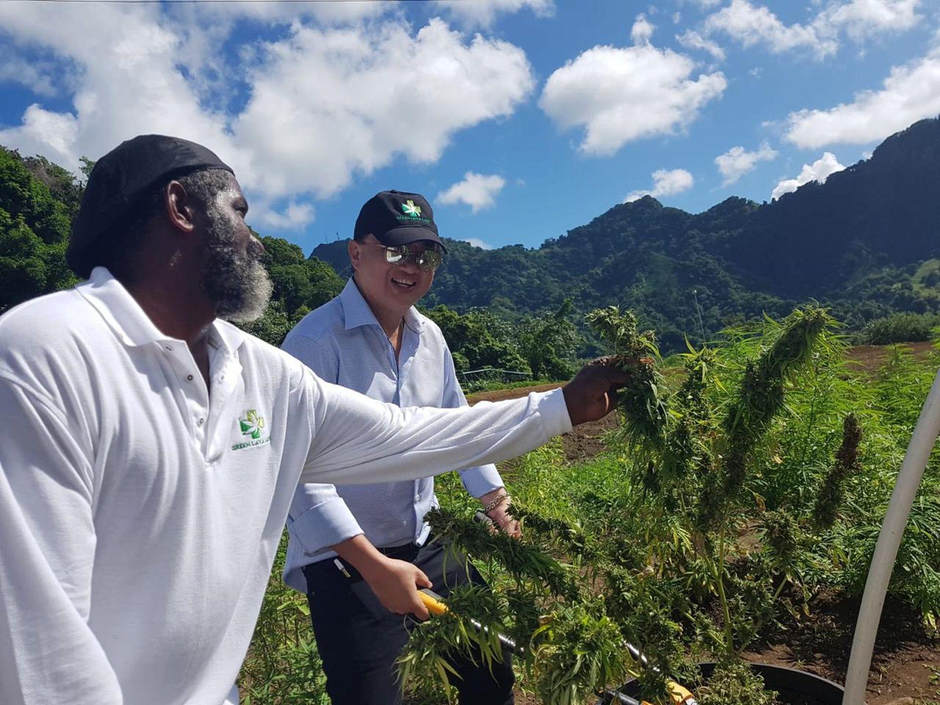 Entertainment magnate eyes medicinal ganja in Trinidad & Tobago - Stabroek  News