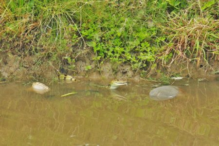 A young caiman feeding in the canal