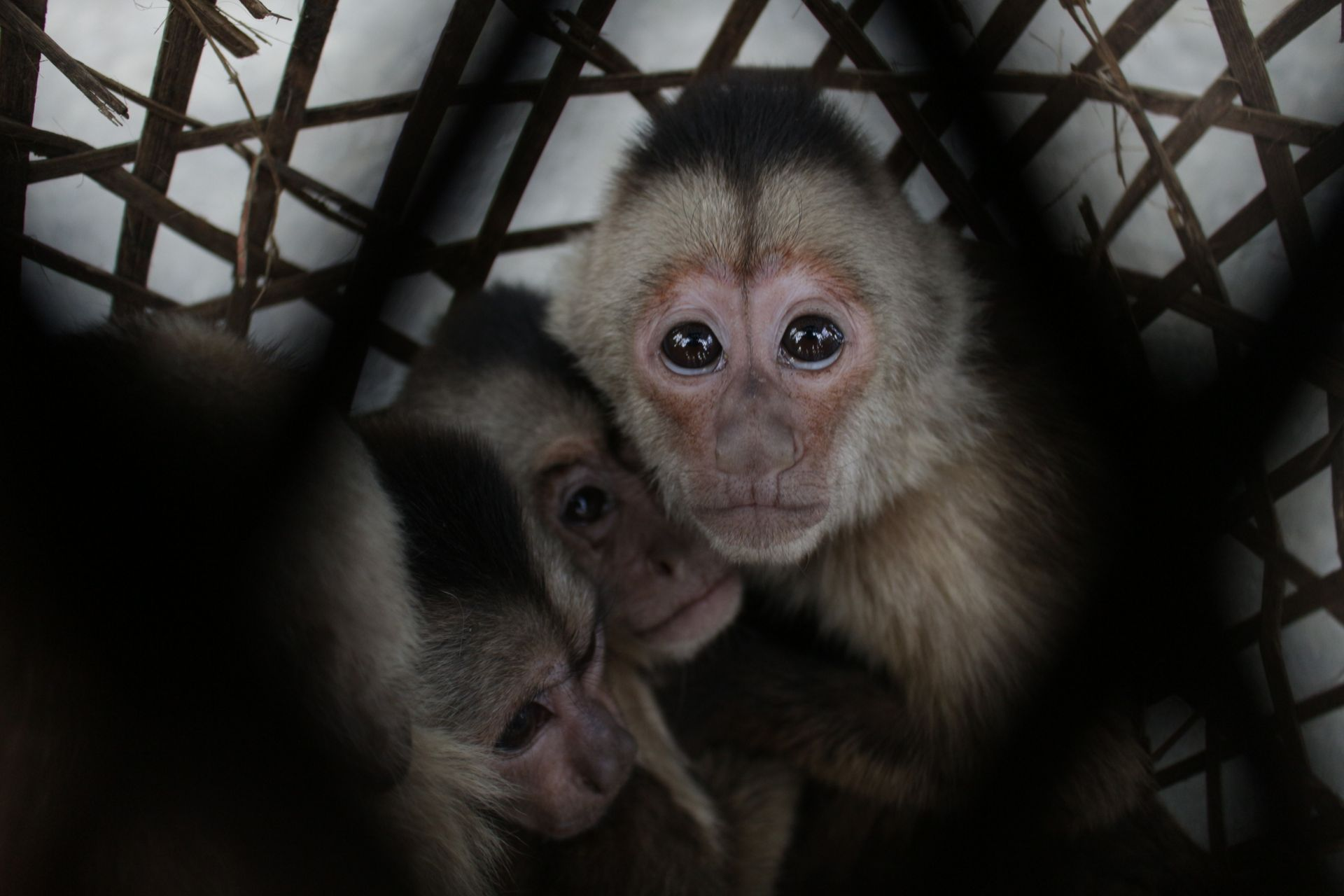 Confiscated capuchins; photo credit Stabroek News
