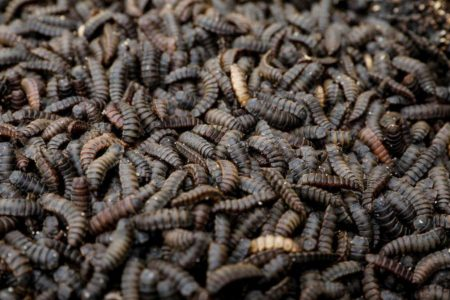 The larvae of the black soldier flies are seen in the InsectPro farm at Red Hill, Kiambu County, Kenya, September 11, 2020. (REUTERS/Baz Ratner photo)