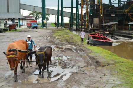 A bullboy was seen on Friday guiding steers that are transporting a cane punt in the canal at Uitvlugt Estate(Orlando Charles photo)